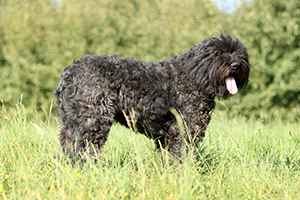 Bouvier Des Flandres Dog Breeds