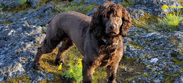 The Definitive Guide To Boykin Spaniel Dogs