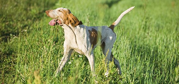 Bracco Italiano Dog Exercise And Personality