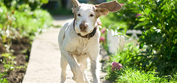 Bracco Italiano Dog Facts And Characteristics