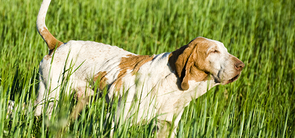 Bracco Italiano Dog Feeding And Diet