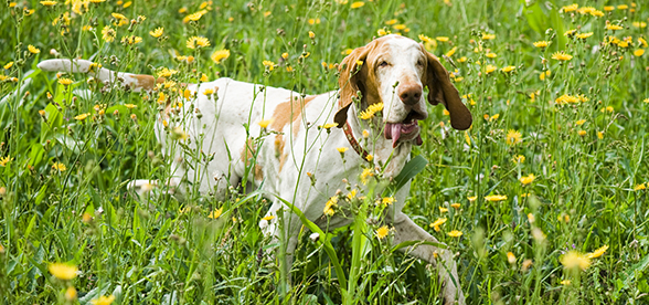 Bracco Italiano Dog Origin And History