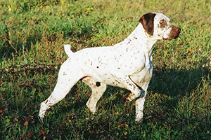 Braque Du Bourbonnais Dog Breeds