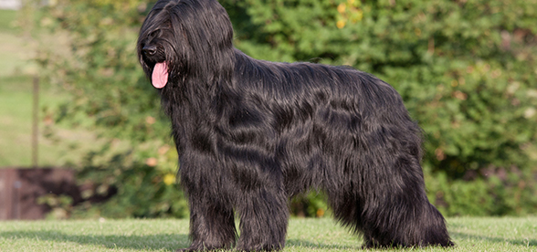 Briard Dog Exercise And Personality