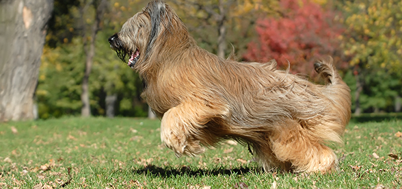 Briard Dog Origin And History