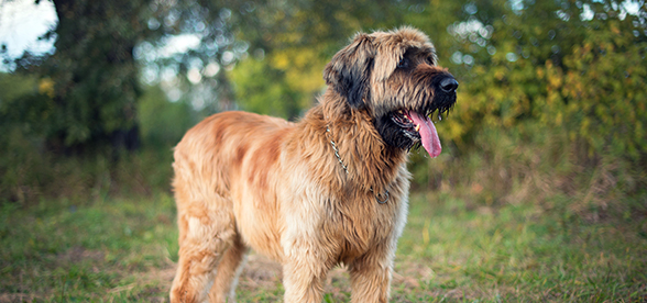 Briard Dog Temperament And Training