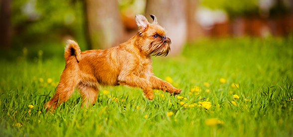 Brussels Griffon Dog Facts And Characteristics