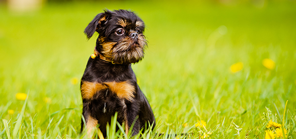 Brussels Griffon Dog Feeding And Diet