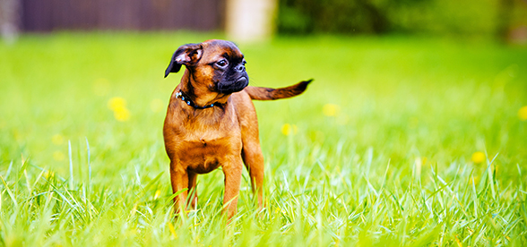 Brussels Griffon Dog Temperament And Training