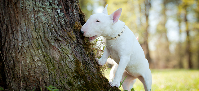 The Definitive Guide To Bull Terrier Dogs