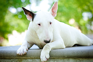 Bull Terrier Dog Breeds
