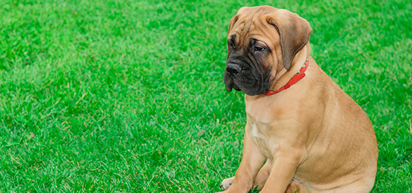 Bullmastiff Dog Feeding And Diet