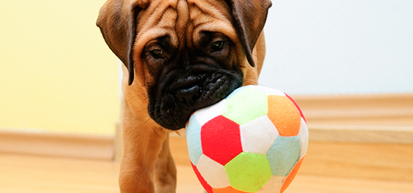 Bullmastiff Dog Health Problems And Lifespan