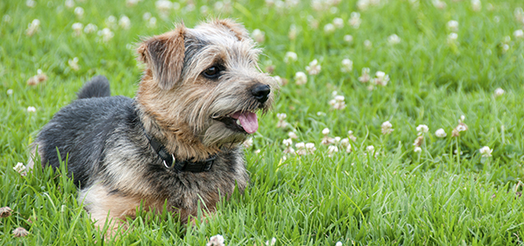 Cairn Terrier Dog Exercise And Personality