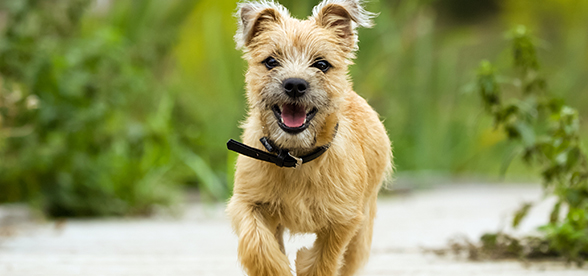 Cairn Terrier Dog Feeding And Diet
