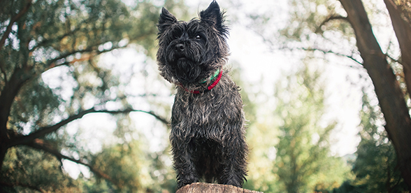 Cairn Terrier Dog Origin And History