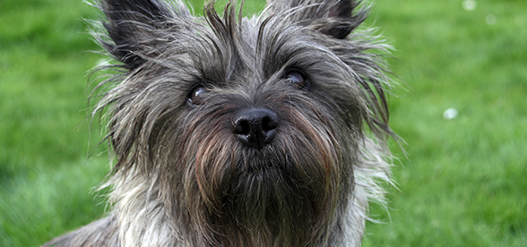 Cairn Terrier Dog Temperament And Training
