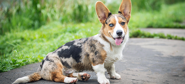 The Definitive Guide To Cardigan Welsh Corgi Dogs