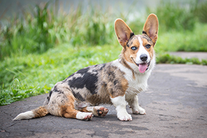 Cardigan Welsh Corgi Dog Breeds