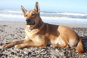Carolina Dog Breeds