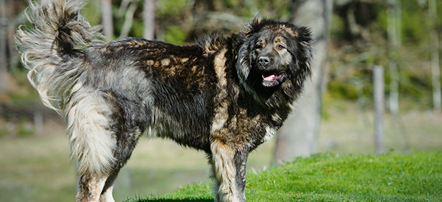The Definitive Guide To Caucasian Ovcharka Dogs