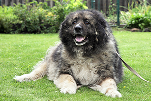 Caucasian Ovcharka Dog Breeds
