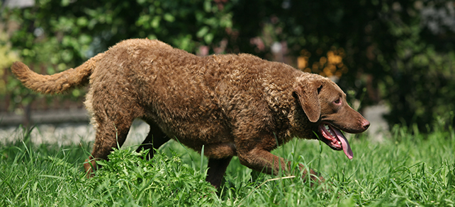 Chesapeake Bay Retriever Dog Breeds