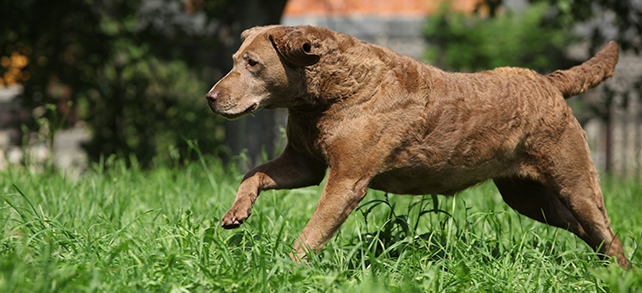 Chesapeake Bay Retriever Exercise And Personality