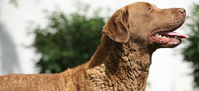Chesapeake Bay Retriever Facts And Characteristics