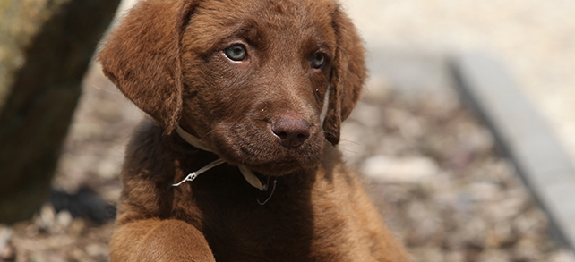 Chesapeake Bay Retriever Food Diet Feeding