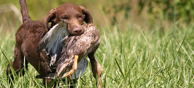 Chesapeake Bay Retriever Health Problems Lifespan