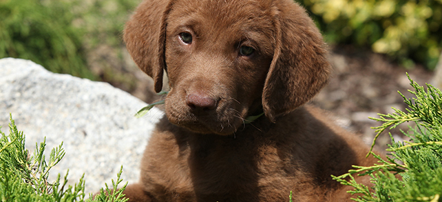 Chesapeake Bay Retriever Origin History