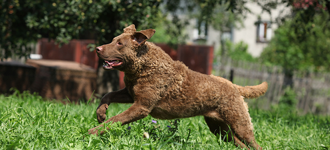 Chesapeake Bay Retriever Temperament Trainging