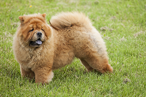 Chow Chow Dog Breeds