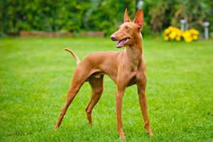 Cirneco dell'Etna Dog Breeds