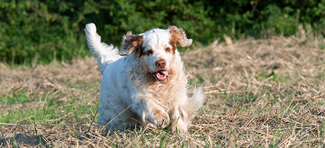 The Definitive Guide To Clumber Spaniel Dogs