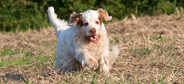 Clumber Spaniel Temperament Training