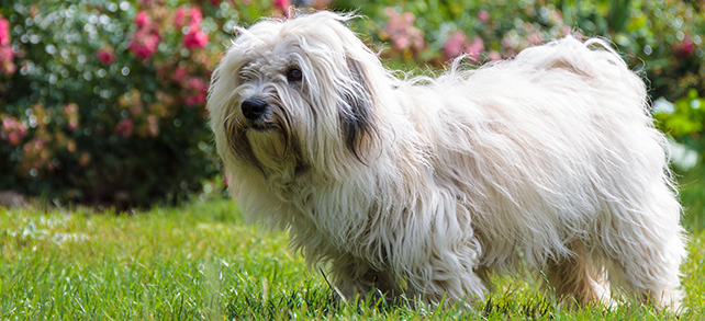 The Definitive Guide To Coton De Tulear Dogs