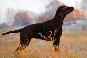 Curly Coated Retriever Dog Breeds