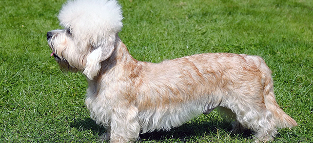 Dandie Dinmont Terrier Dog Breed