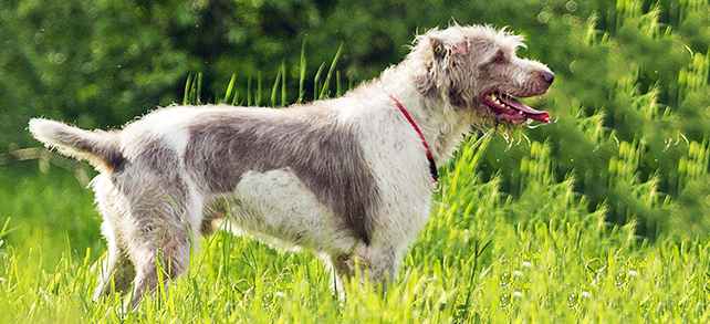Deerhound Dog Breed