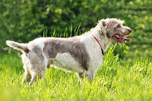 Deerhound Dog Breeds