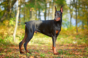 Doberman Pinscher Dog Breeds