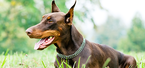 Doberman Pinscher Dog Exercise And Personality