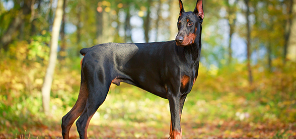 Doberman Pinscher Dog Facts And Characteristics