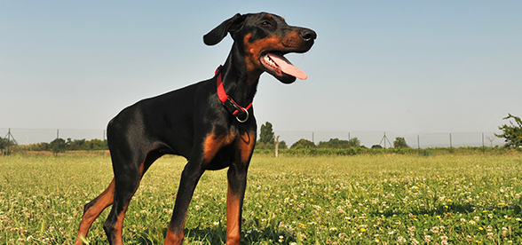 Doberman Pinscher Dog Origin And History