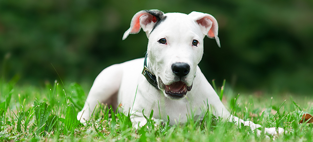 The Definitive Guide To Dogo Argentino Dogs