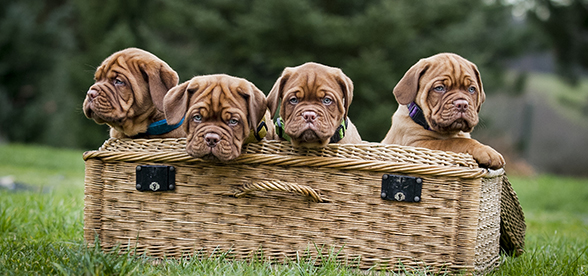 Dogue de Bordeaux Dog Origin And History