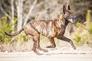 Dutch Shepherd Dog Breeds