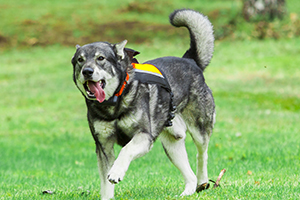 Elkhound Dog Breeds
